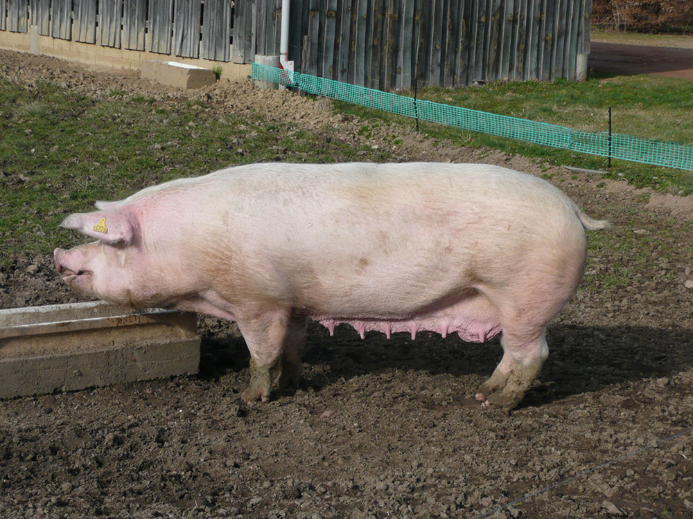 Porc de la race Landrace