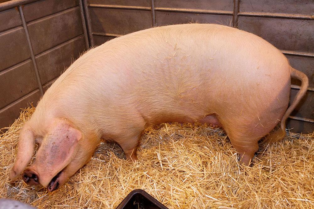 Un porc de la race Blanc de l'Ouest