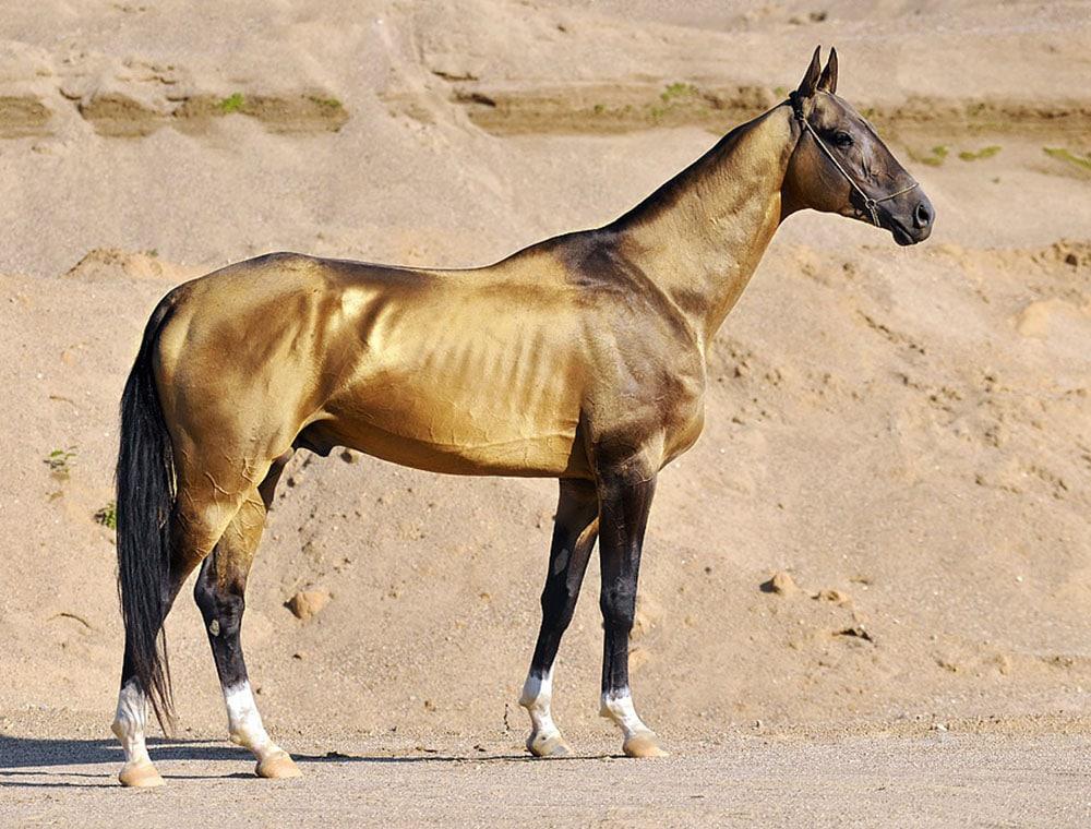 Cheval de race Akhal Teke