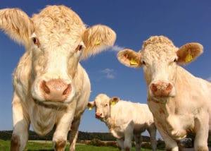 Vache de la race Blonde d'Aquitaine