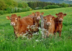 Vaches de la race Limousine
