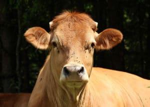Vache de la race Limousine