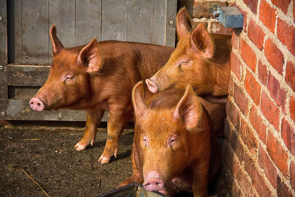 Porcs de la race Duroc