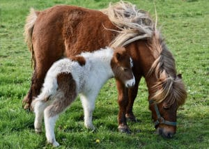 Chevaux de la race Shetland