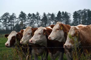 Vaches de la race Montbéliarde