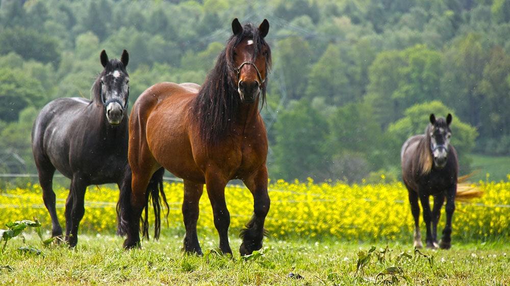 chevaux de la race Cob Normand