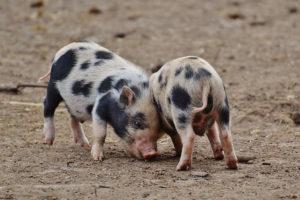Porcs de la race Pietrain