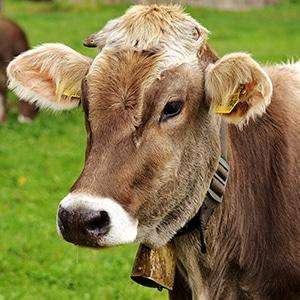 Vache de la race Parthenaise