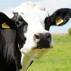 Vache de la race Prim'Holstein
